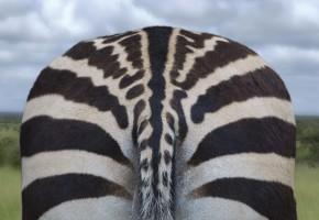 Back of a zebra